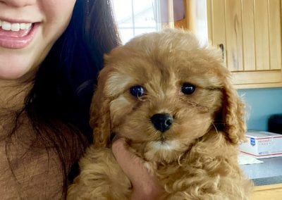 8 week old cavapoo puppy