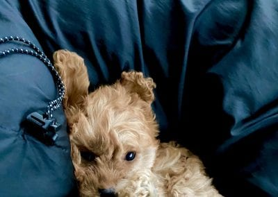 red cavapoo puppy in jacket