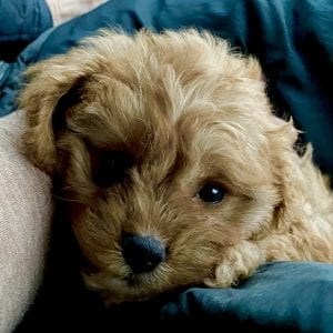 red cavapoo puppy face